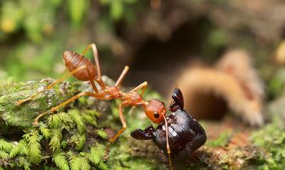 Weaver ant getting ahead