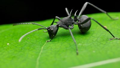 Armoured black ant (Polyrhachis armata)