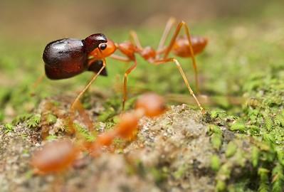 Weaver ants (Oecophylla smaragdina) getting ahead