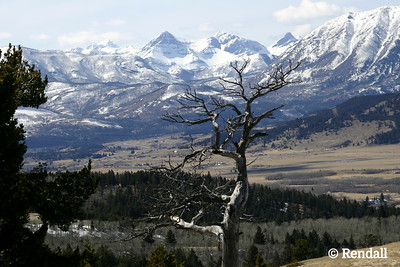 Ghostly limber pine marking entrance to Crowsnest Pass, Alberta, guarded by Mount Parrish, McLaren and Andy Good Peak.