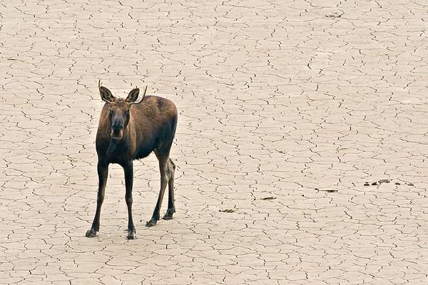 A young bull moose running across Medicine Lake in Jasper, Alberta Canada.