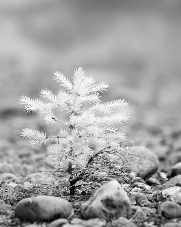 Pine sapling in IR