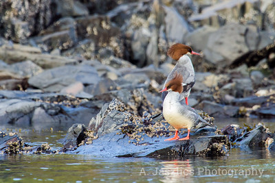 Common Mergansers