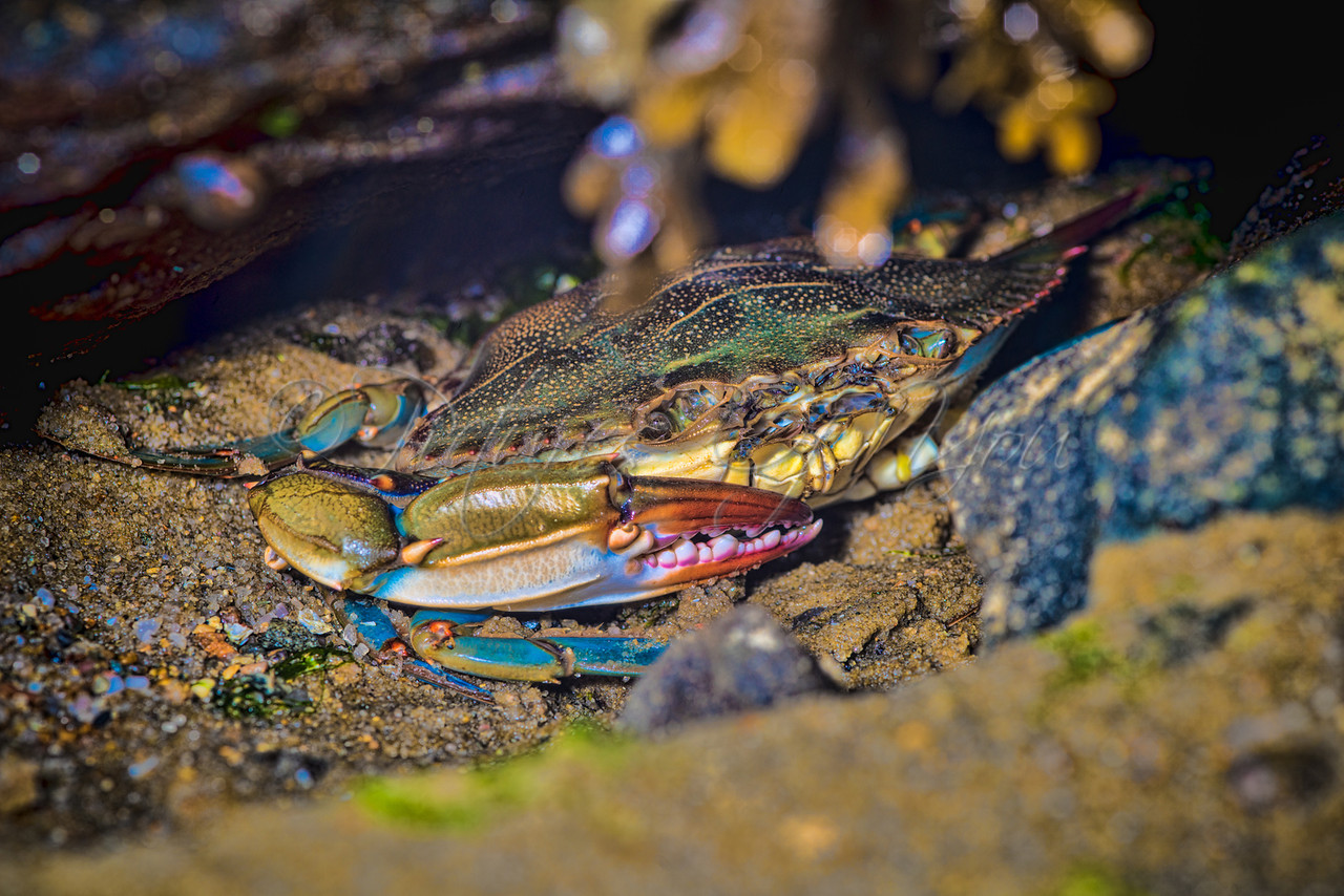 Blue Crab, Bass River-1