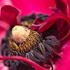 April 6, 2014: Macro of Ranunculus at Carlsbad Flower Fields. Acres and acres of flowers blowing in the wind.