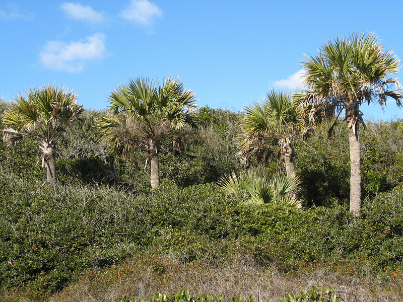 <b>Palmetto's</b> - South Carolina's State Tree as seen along the trail to Folly Beach to view the Morris Island Lighthouse.
