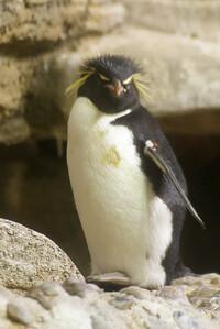 Penguin VI