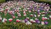 tulips millennium park