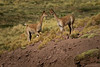 A pair of Vicuna's in their environment