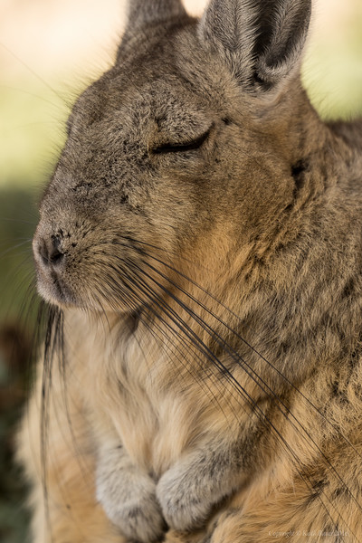 Viscacha portrait