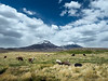 Llamas, Alpacas grazing in front of the volcanos