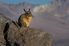 Viscacha sunning in the morning