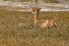 A young Vicuna relaxing in the morning sun