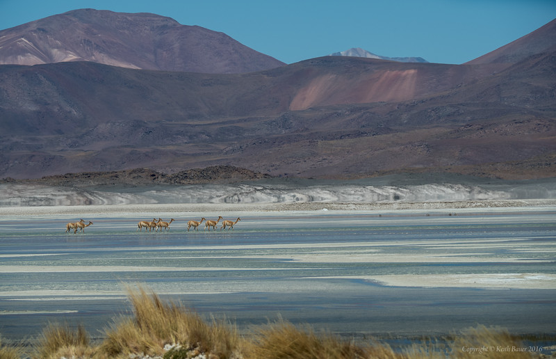 Vicuna's on the salt flat