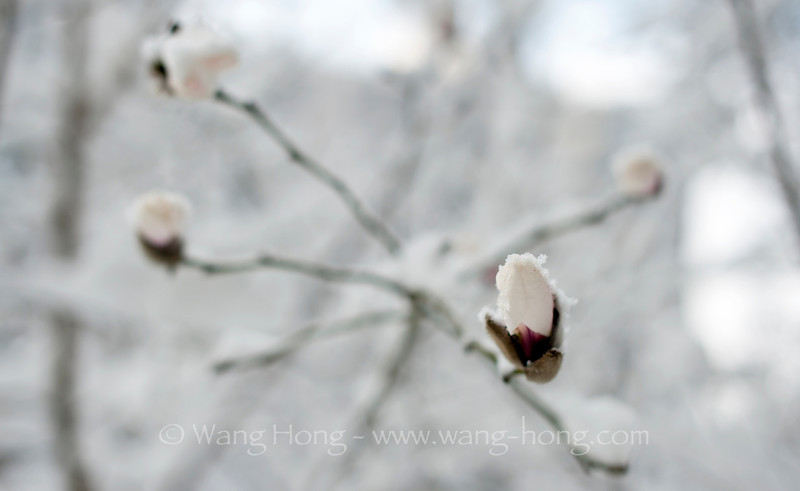 A surprising spring snow fell on magnolia flowers in late March 2013. 一场意外的春雪落在玉兰花苞上。