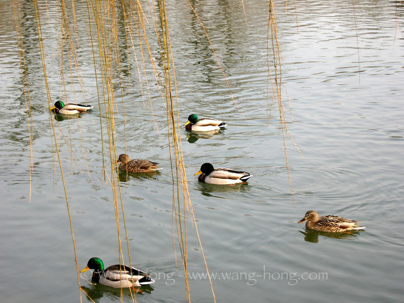 Mandarin ducks in the ruins of the old summer palace (yuan ming yuan) 鸳鸯游行于圆明园寒冬的湖水中