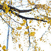 Gingko leaves in vibrant colour before falling with the deep autumn wind on Dongzhemenwai Dajie. 东直门外大街深秋的银杏树。
