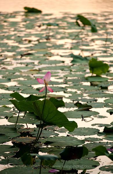 Lotus in Beihai Park at sunset, summer 2012. 北海公园日落辉映下的荷花, 2012年夏