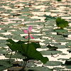 Lotus in Beihai Park at sunset, summer 2012. 北海公园日落辉映下的荷花, 2012年夏