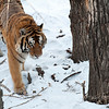 In Harbin Siberian Tiger Park. 哈尔滨东北虎林园。