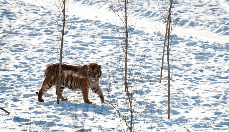 In Harbin Siberian Tiger Park. 哈尔滨东北虎林园。