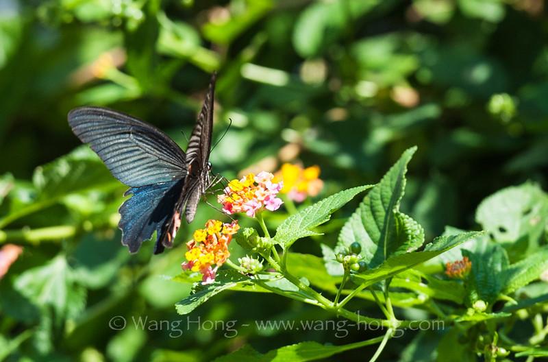 Butterfly fluttering outside my kitchen windows in Po Wah Yuen Village.