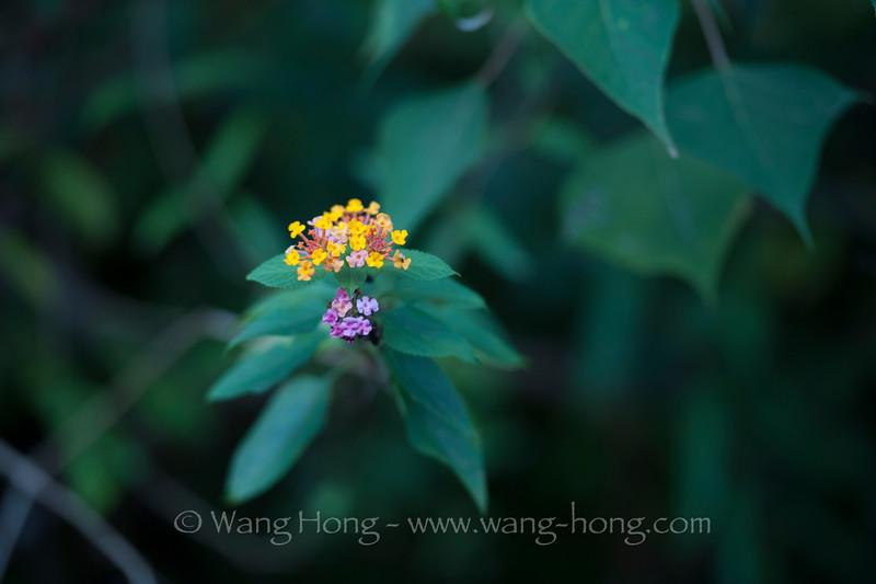 Lantana camera, the most often seen wild flower on Lamma.马缨丹。