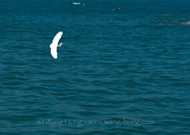 Seabird catching fish at Yung Shue Wan ferry pier, Lamma Island, Hong Kong