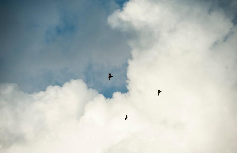 Kites flying through clouds over Yung Shue Wan. 南丫岛榕树湾上空,苍鹰飞过云层。