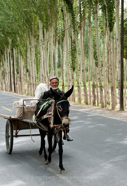 Urgur man on donkey cart on tree-lined country road in Jiya township, Hotan