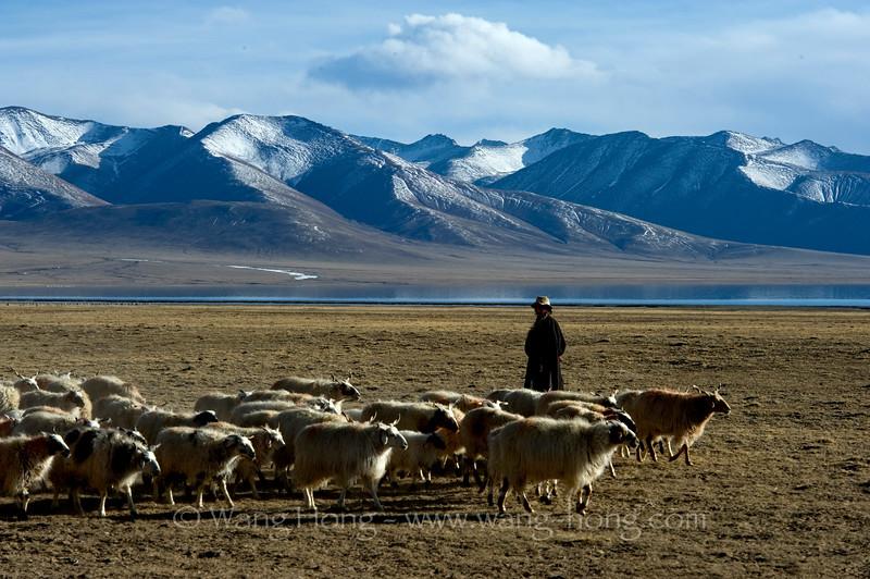 Shepherd by Namtso Lake (4718m) at sunset in late April, Tibet