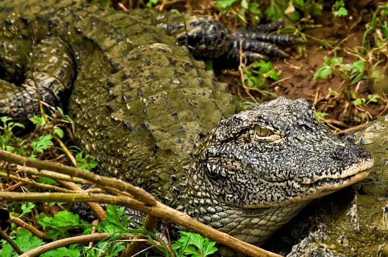 Yangtze River Crocodile