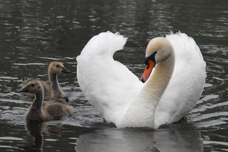 One of two female swans who are raising two baby geese.