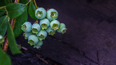 The blueberries are coming, too. In ample numbers.