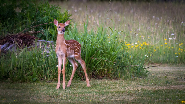 One of two fawns hanging about the yard this year with their moms.