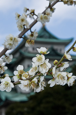 February 21st - Early cherry blossom at Nagoya Castle, Japan.