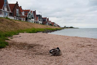 Ducks In Volendam The Netherlands May 2011