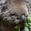A real Koala