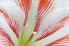 One view of an Amaryllis.