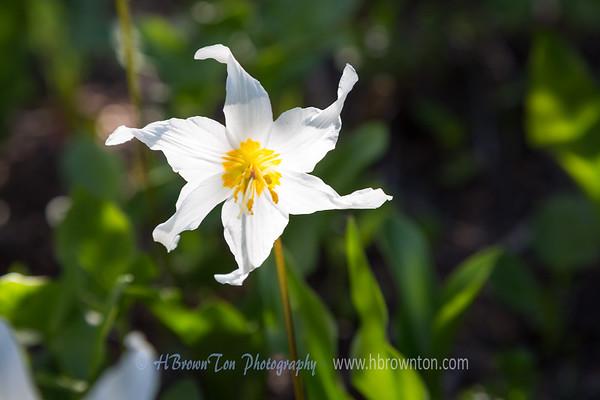 Skyline Trail Flowers