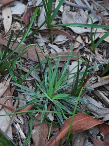 Stylidium graminifolium (Grass Trigger Plant)