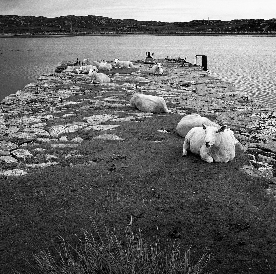Sheep staging a sit-in, Old Pier, Isle of Coll