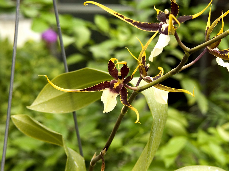 32Orchid