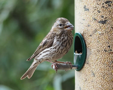 Cassin's Finch, female