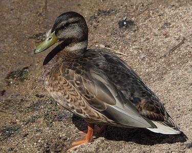 Mallard, female