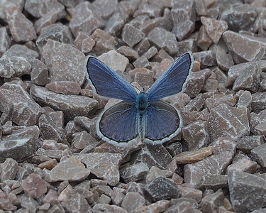 Blue Copper, male