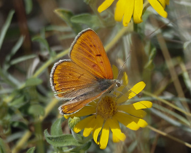 Ruddy Copper, male