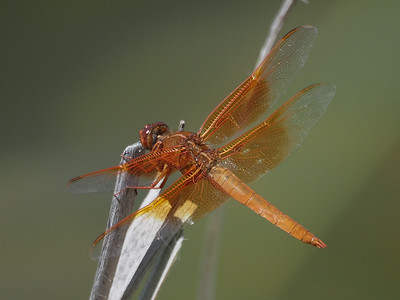 Flame Skimmer, male