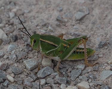 Plains Lubber Grasshopper - Brachystola magna