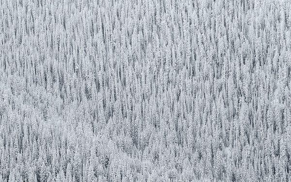 Snowy Trees, Aspen, CO